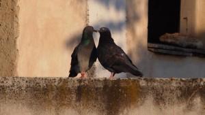 láska líbání ptáci